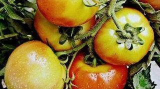 Magpietomatoes